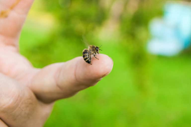 Do Honey Bees Sting? Yes, They Do(What You Should Know)