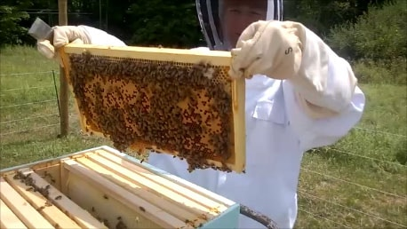Inspecting a frame with bees and brood in beekeeping protective clothing