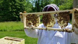 Bees drawing comb on foundationless frame