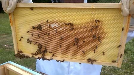 Bees and nectar on plastic foundation