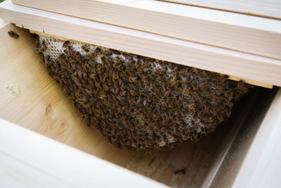 Bees on comb in TBH