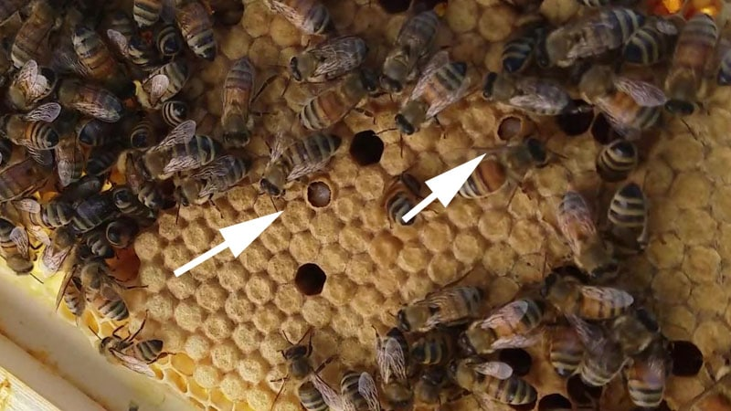 Capped brood with larvae