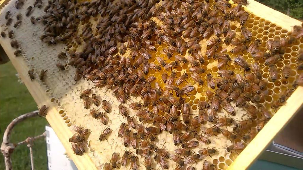 Bees on frame including nectar and some capped honey.