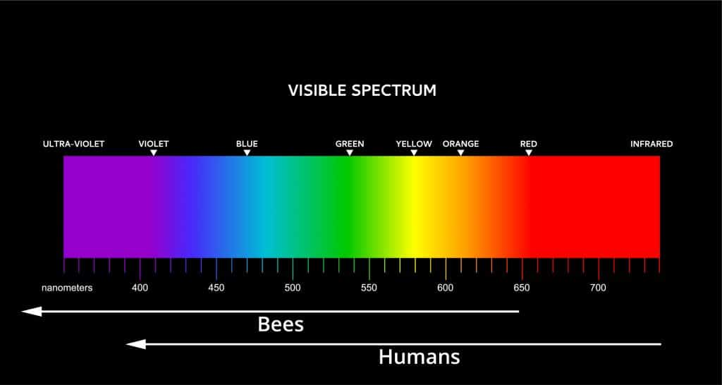 Bee vs Human visible color spectrum