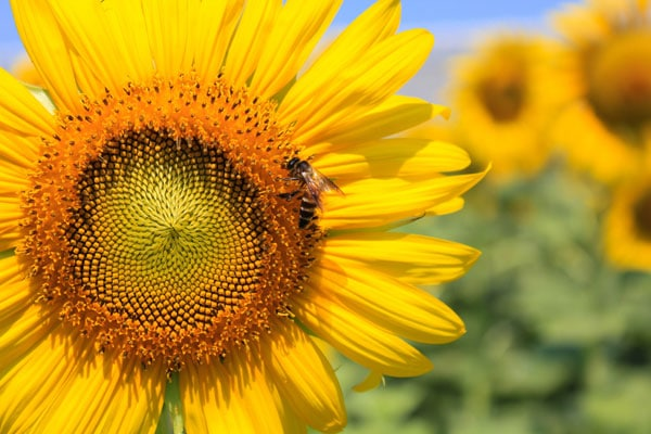 A honey bee visits a gorgeous sunflower