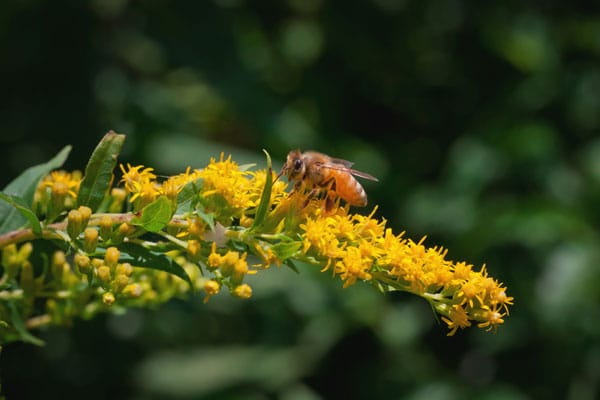 Goldenrod and a honey bee