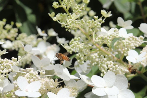 Bee on our panicle hydrangea