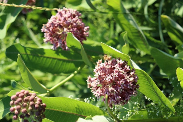One of our honey bees on milkweed