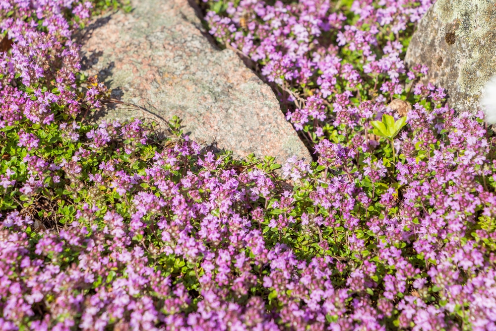 Red flowering thyme