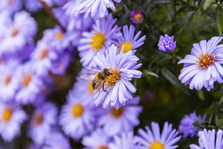 Honeybee on blue aster