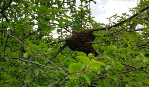 Bees clustered on a tree branch