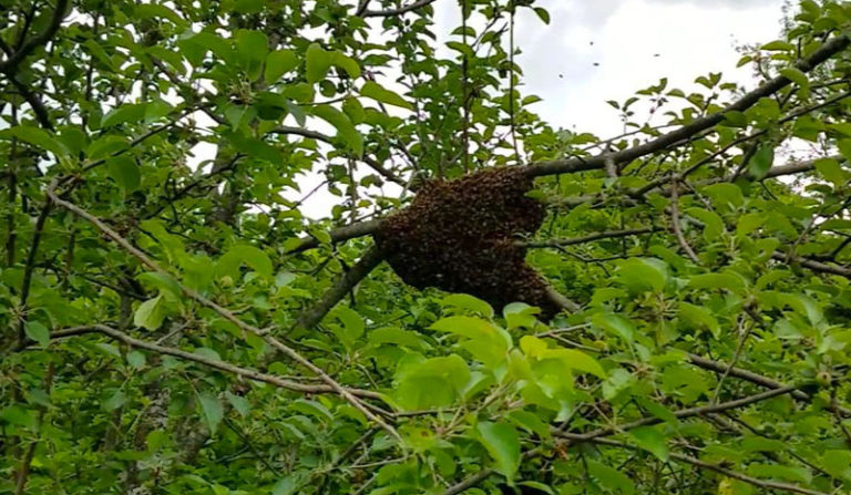 Why Do Bees Leave A Hive? (Absconding)