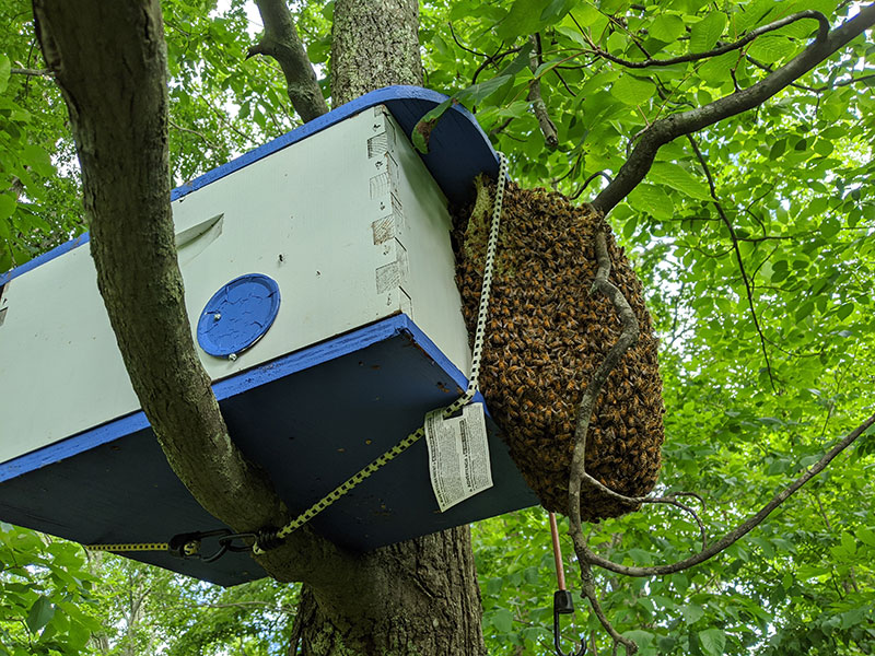 Swarm trap with bees on the outside