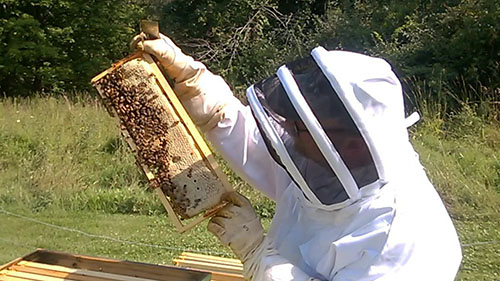 Bees on a frame with capped honey